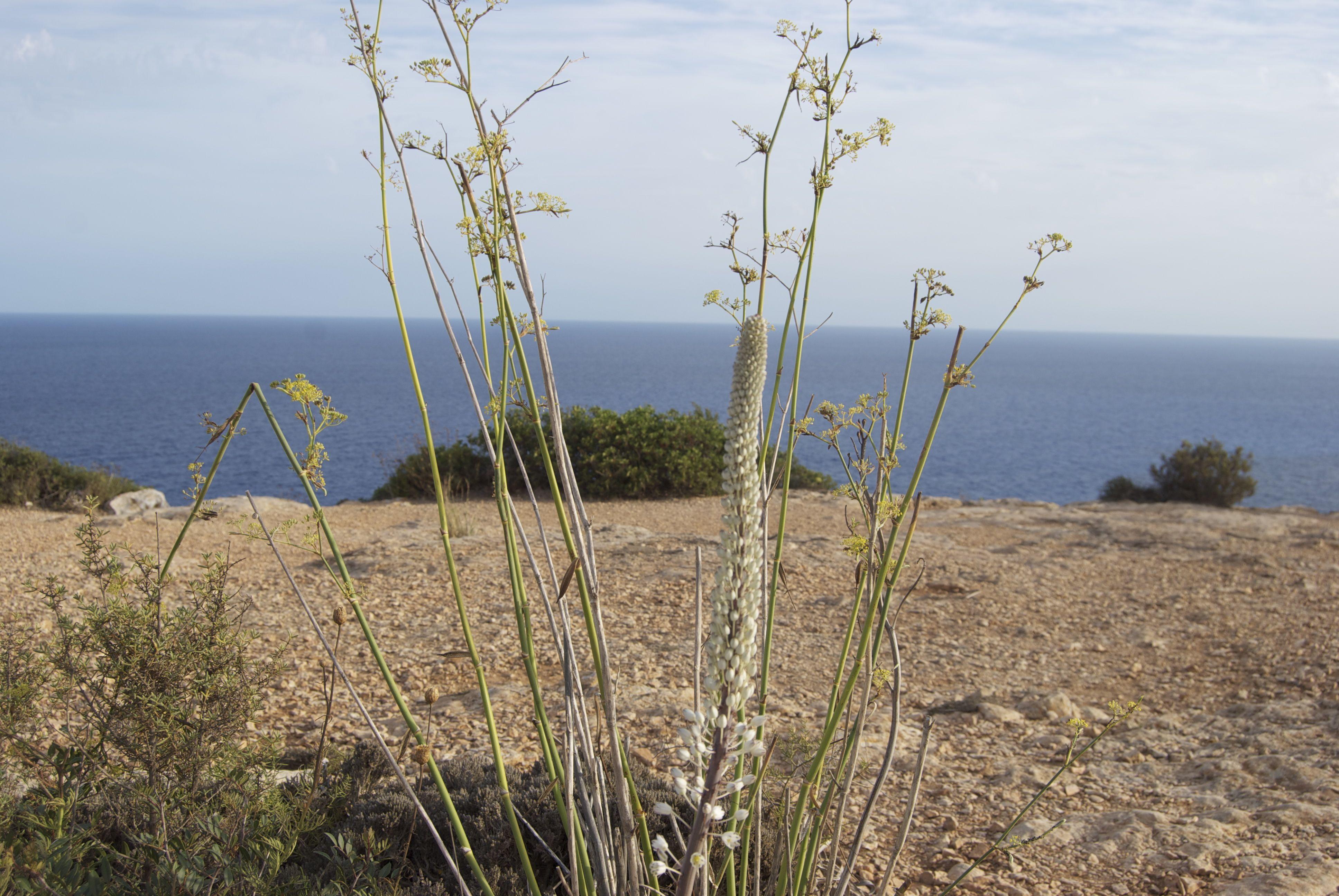 Plantas de Formentera