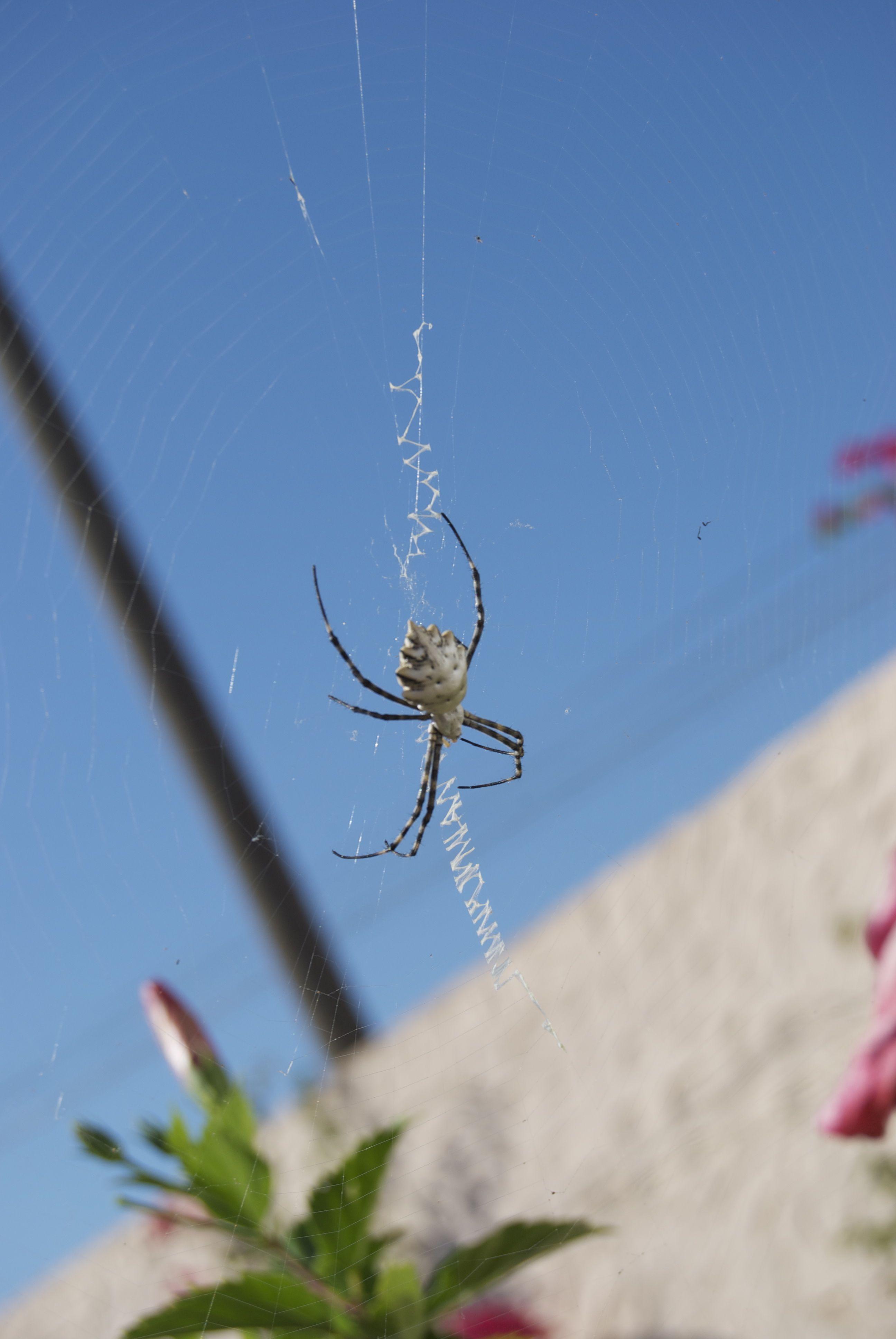 Una araña muy grande de Formentera